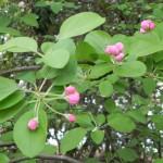 オオズミの花ばな120425DSCN1667