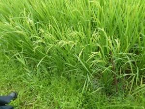 成長した稲と感動の再会!