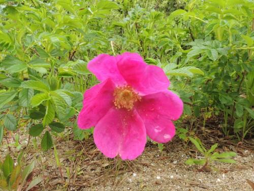 DSCN4279初開花
