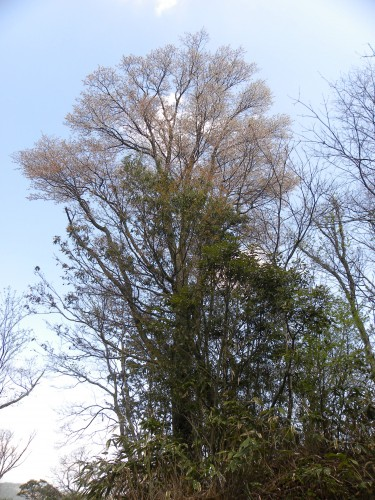 DSCN8753山桜