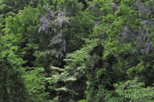藤の花とミズキの瀑布