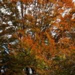 ブナの紅葉