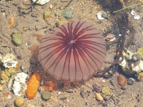 DSCN1983◎クラゲと巻貝