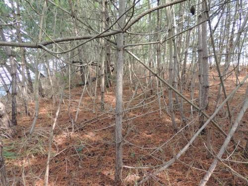 DSCN7084松の自然淘汰