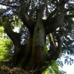 DSCN1202天然杉赤岩山