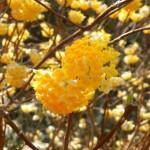 DSCN1285ミツマタの花