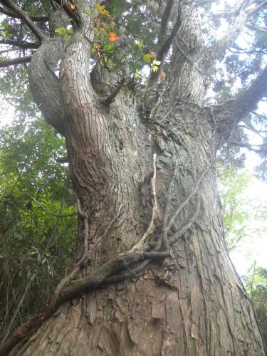 DSCN5907杉の大木