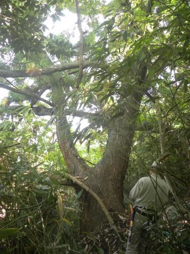 DSCN5915ボンボリ杉