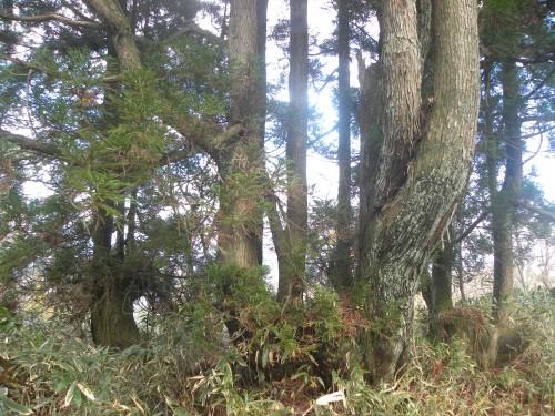 DSCN6345尾根3本の大杉
