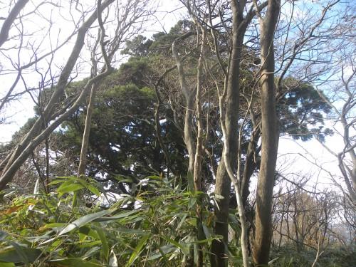 DSCN6366尾根の大杉全景