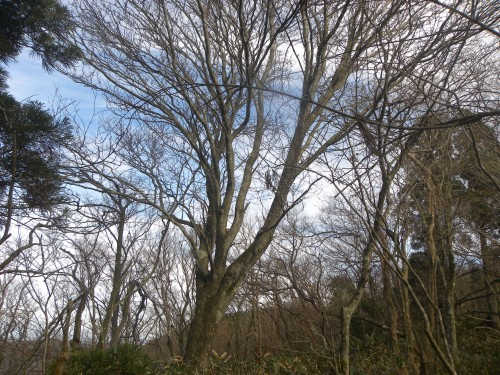 DSCN6634オオウラジロ巨木