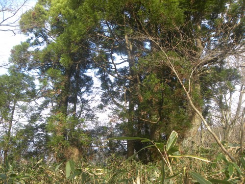 DSCN6635オオウラジロ横杉