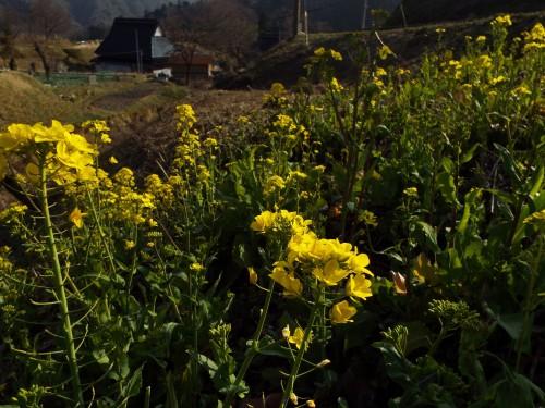 151菜の花