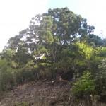DSCN7600ボンボリ杉