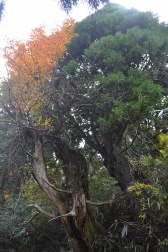 天然スギと紅葉
