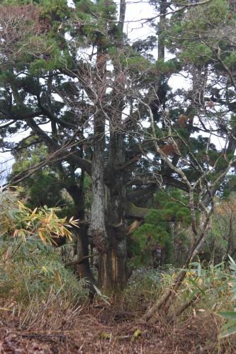 杉山尾根の天然杉