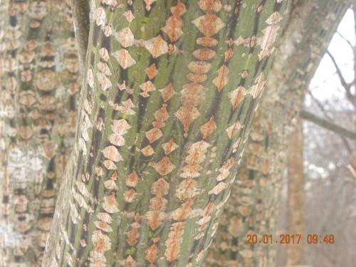ウリハダカエデの樹皮 面白い形にの模様