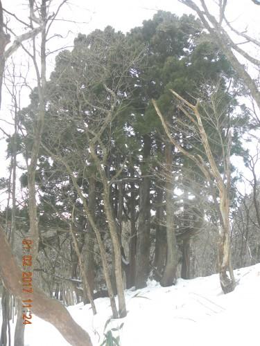 歩きはじめから約1時間半で巨大スギが出て来ました。杉山の尾根にあるような大きな株立の天然杉です