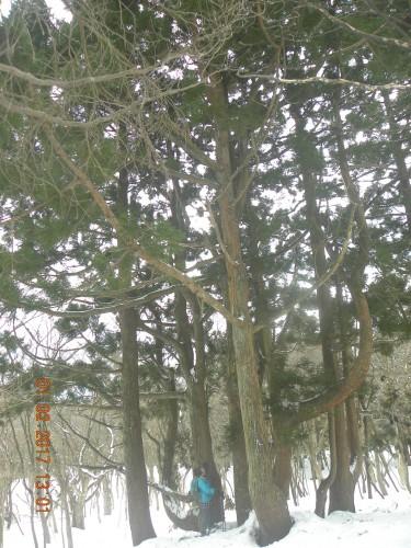 大きな天然スギまで降りて来ました。人と比較してください。