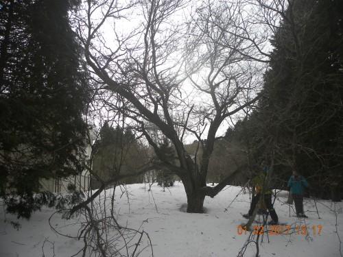 ここにも大きな栗の木