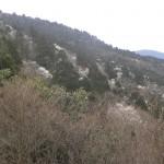タムシバ咲く杉山