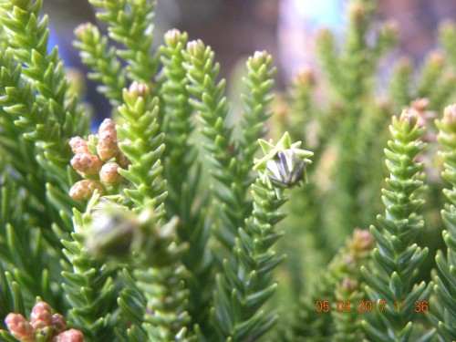 杉の雄花、雌花