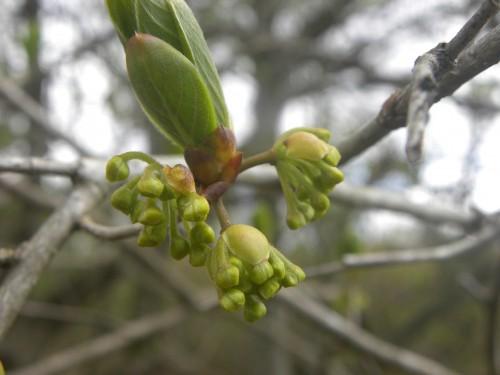 カナクギの花芽