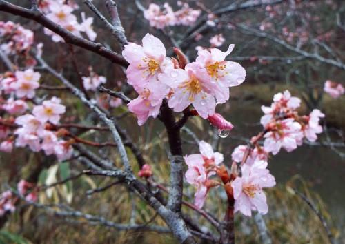 DSCF3042桜
