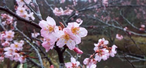 DSCF3044桜