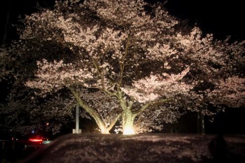 IMG_4339.jpg夜桜